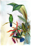 Hummingbirds and Orchids