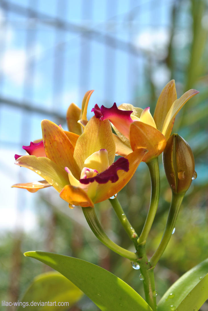 cattleya by lilac-wings