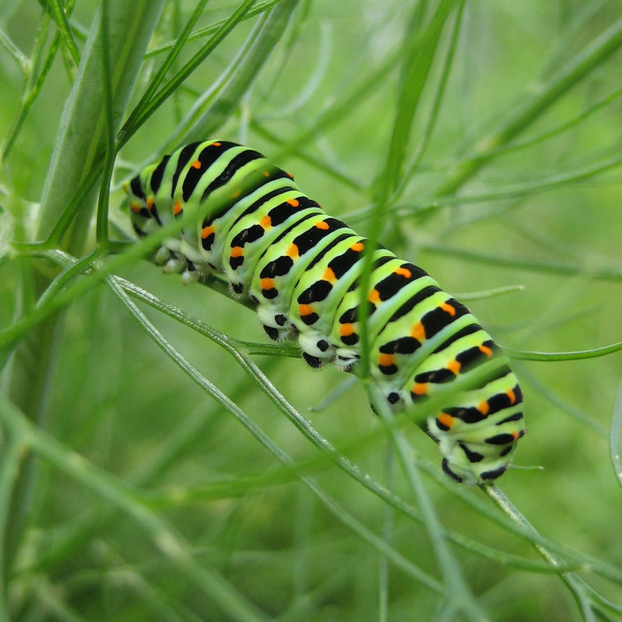 Swallowtail caterpillar by Whismermill
