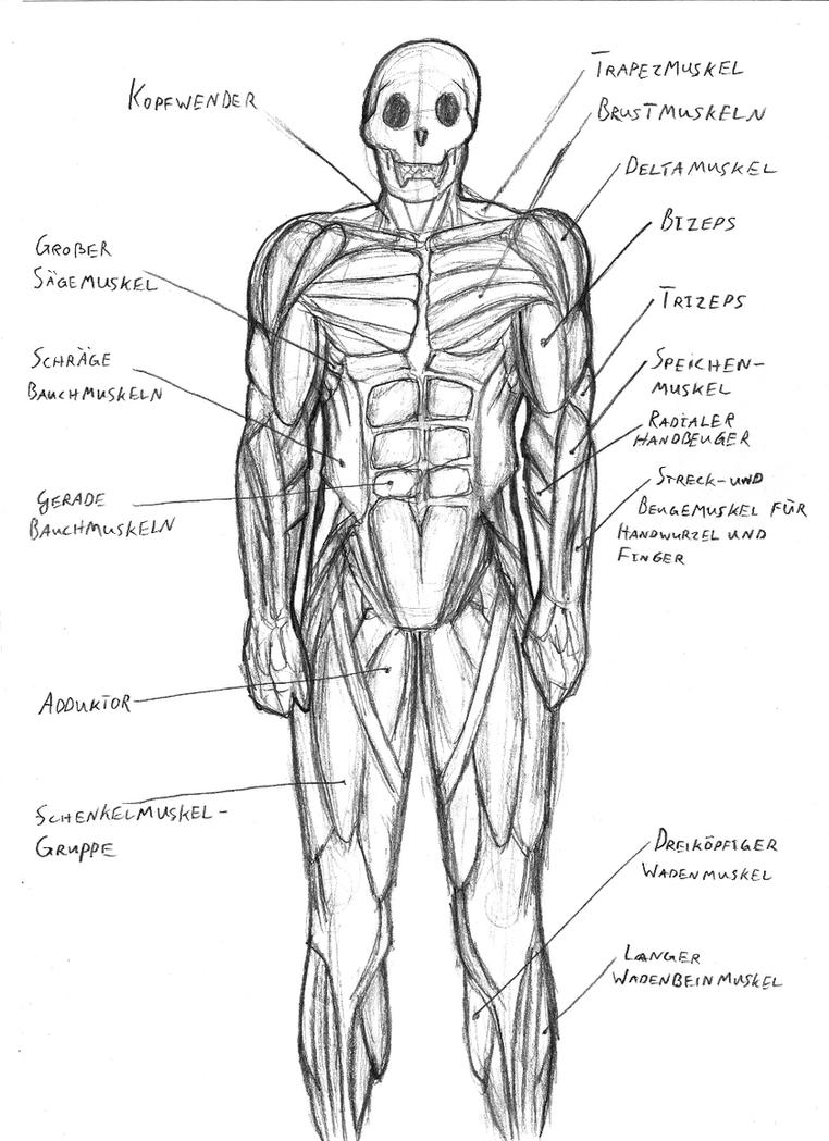 Human muscular system sketch by IronRebel on DeviantArt