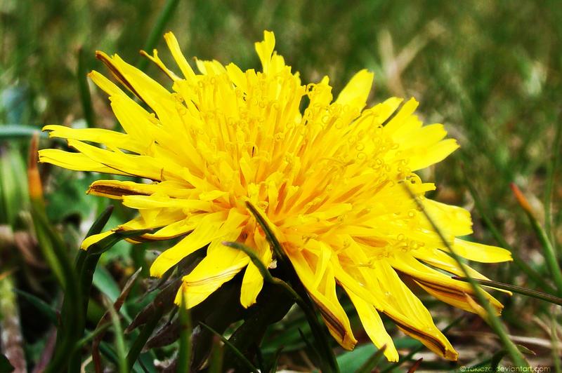 common dandelion 1 by rokicza