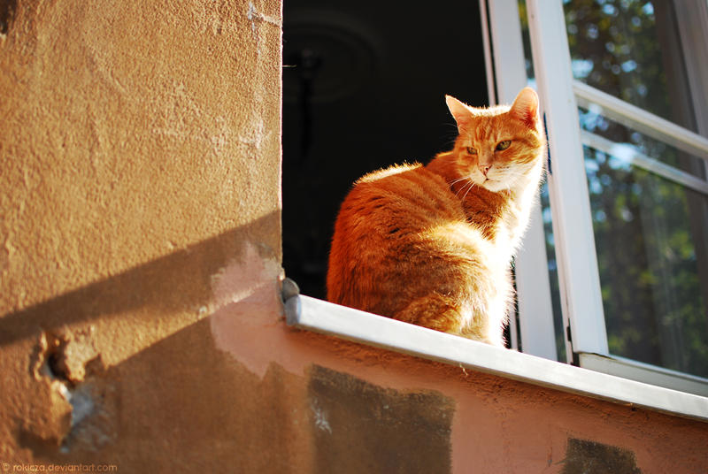 Ginger cat by rokicza