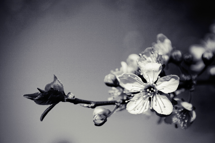 Cherry Blossom Black And White By Tash23