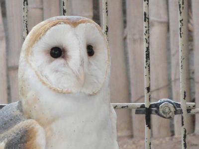 Barn Owl by QuantumMirage