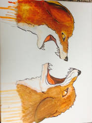 Foxy conflicts