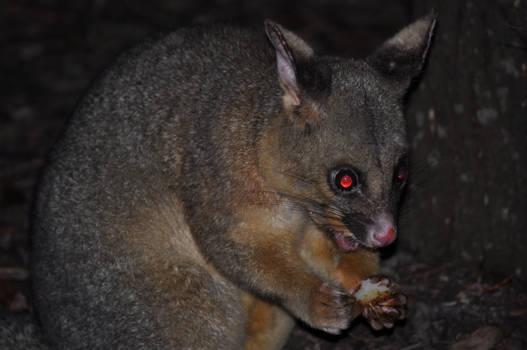 Angry Possum