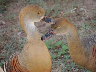 Some Ducks