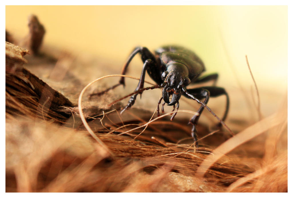 Macro Beetle by Loreana10
