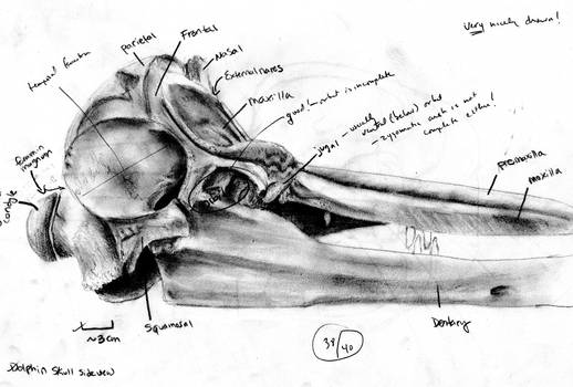 Dolphin Skull Scientific Draw