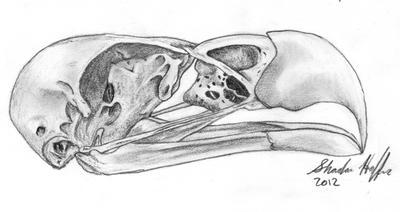 Bald Eagle Skull by farfinmosker