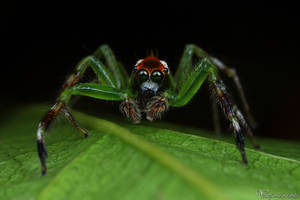 Jumping Spider IV - Little Hulk by AlHabshi