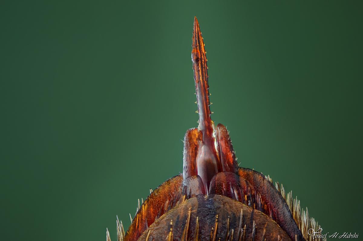 Wasp Stinger - Megascolia Maculata - Female by AlHabshi