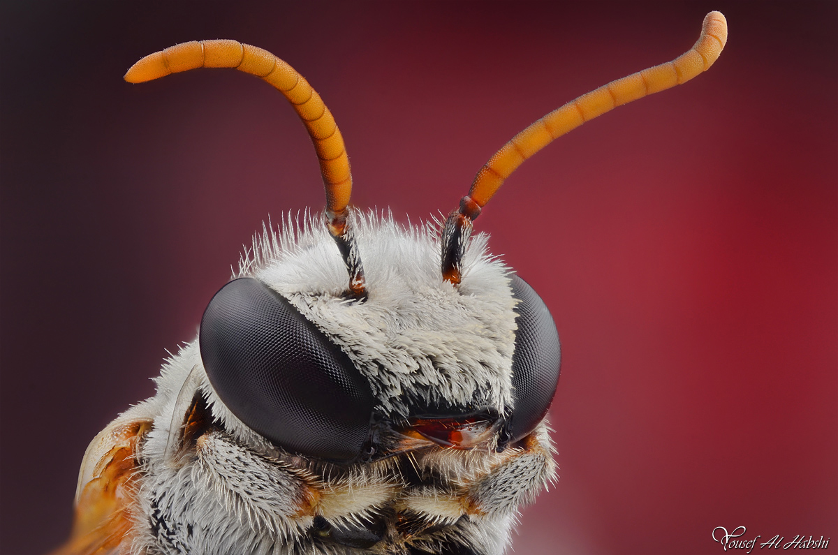 Solitary Bee by AlHabshi