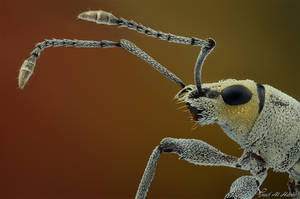 White Weevil by AlHabshi