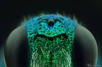Metallic Parasitoid Wasp