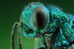 Cuckoo Wasp - Portrait
