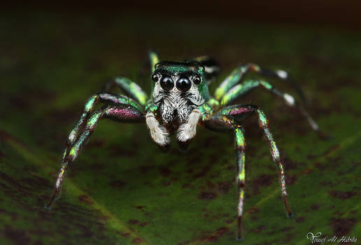 Jumping Spider - Cosmophasis micans