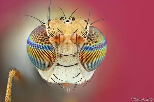 Colorful (Actocetor indicus)