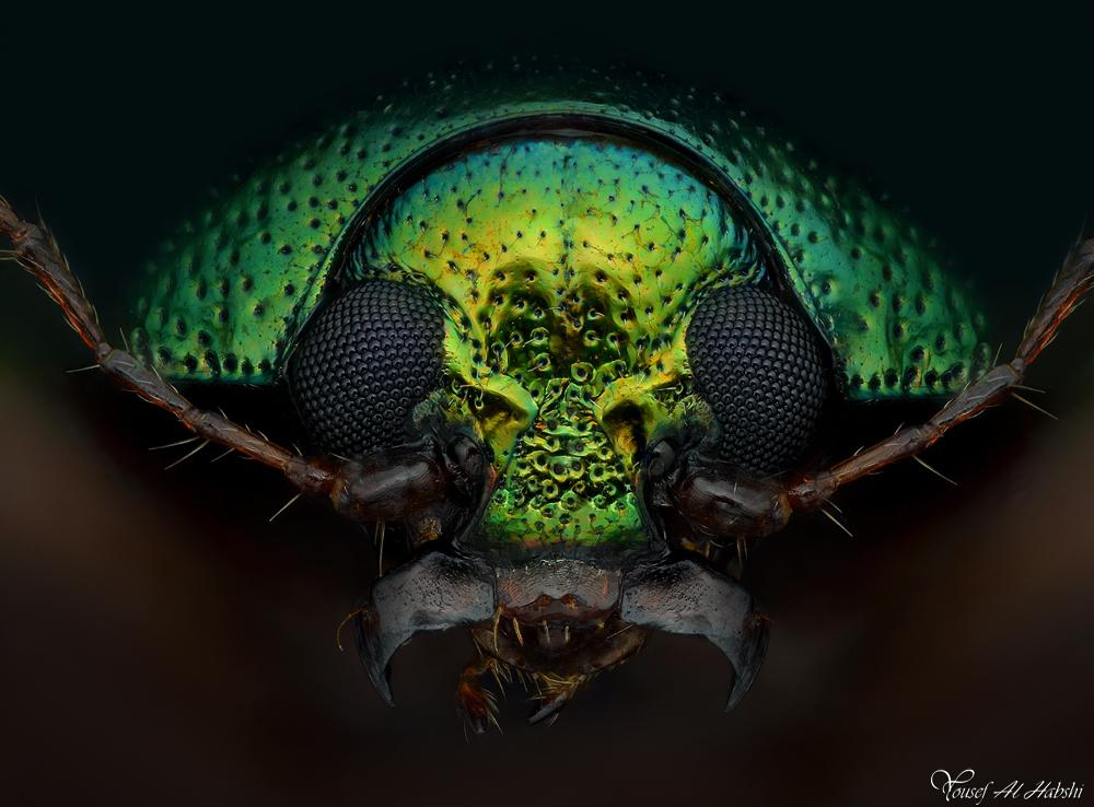 Metallic Leaf Beetle by AlHabshi
