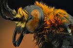 Scoliid Wasp (Campsomeriella Thoracica)