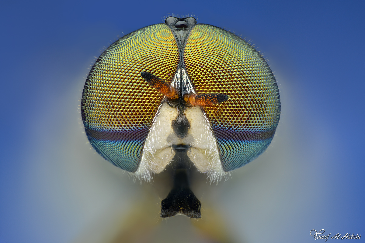 Soldier Fly by AlHabshi