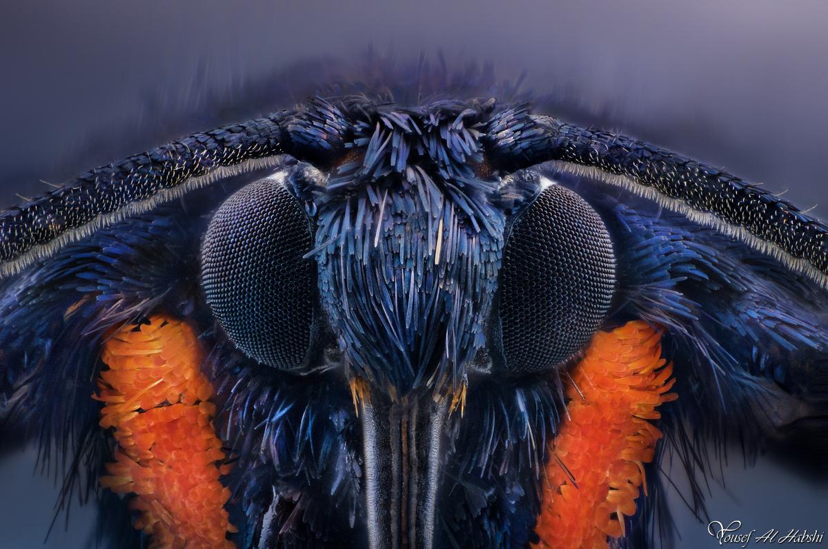 Wasp Moth by AlHabshi