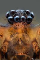 Cellar Spider by AlHabshi