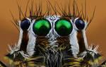 Plexippus paykulli - Jumping Spider