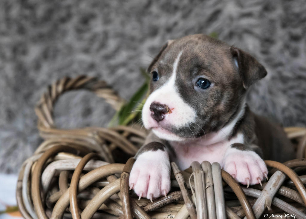 Puppy 04 by Stephywill59