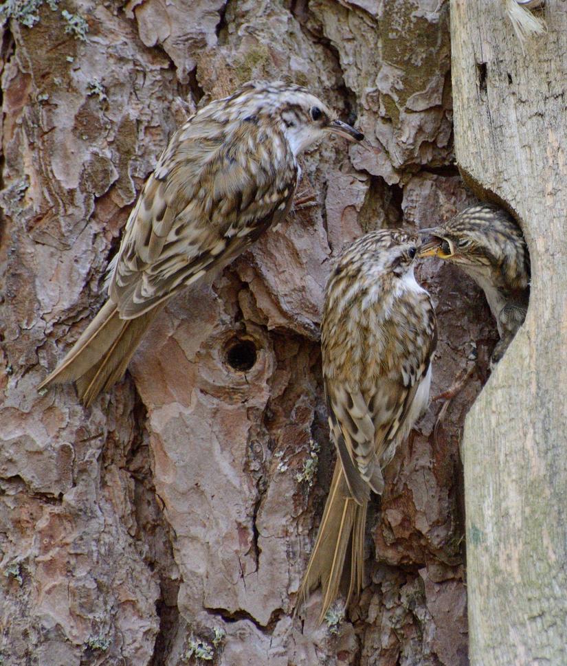 A family of Eurasian treecreepers(Certhia familia) by Jalopeura90