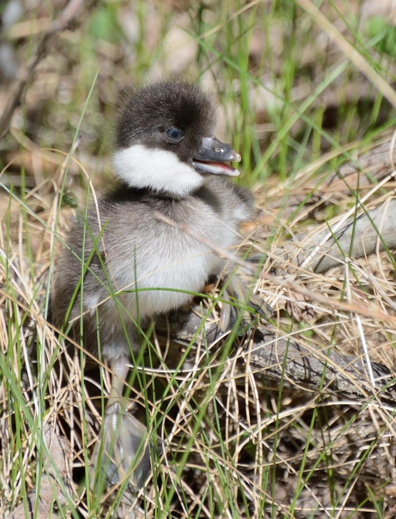 Common goldeneye duckling (Bucephala clangula) by Jalopeura90