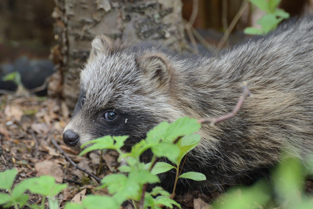 Raccoon dog (puppy) by Jalopeura90