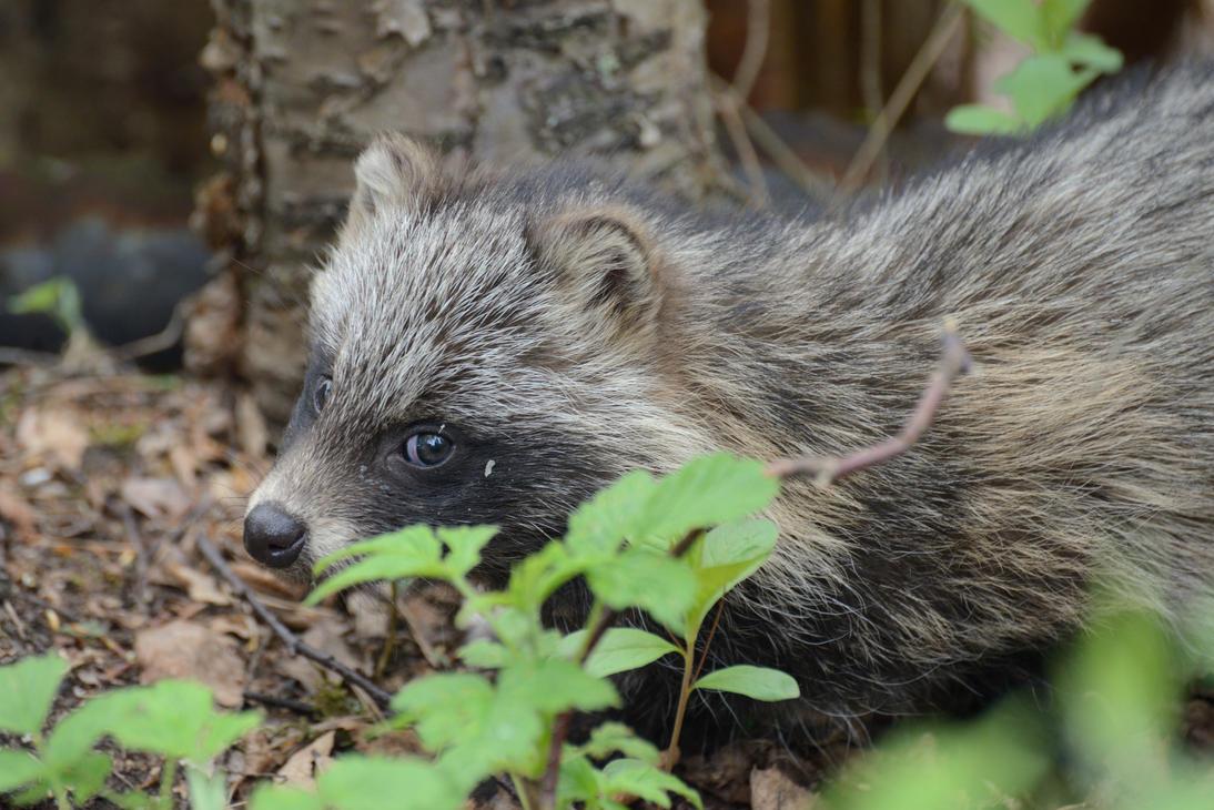 Raccoon dog (puppy) by Jalopeura90