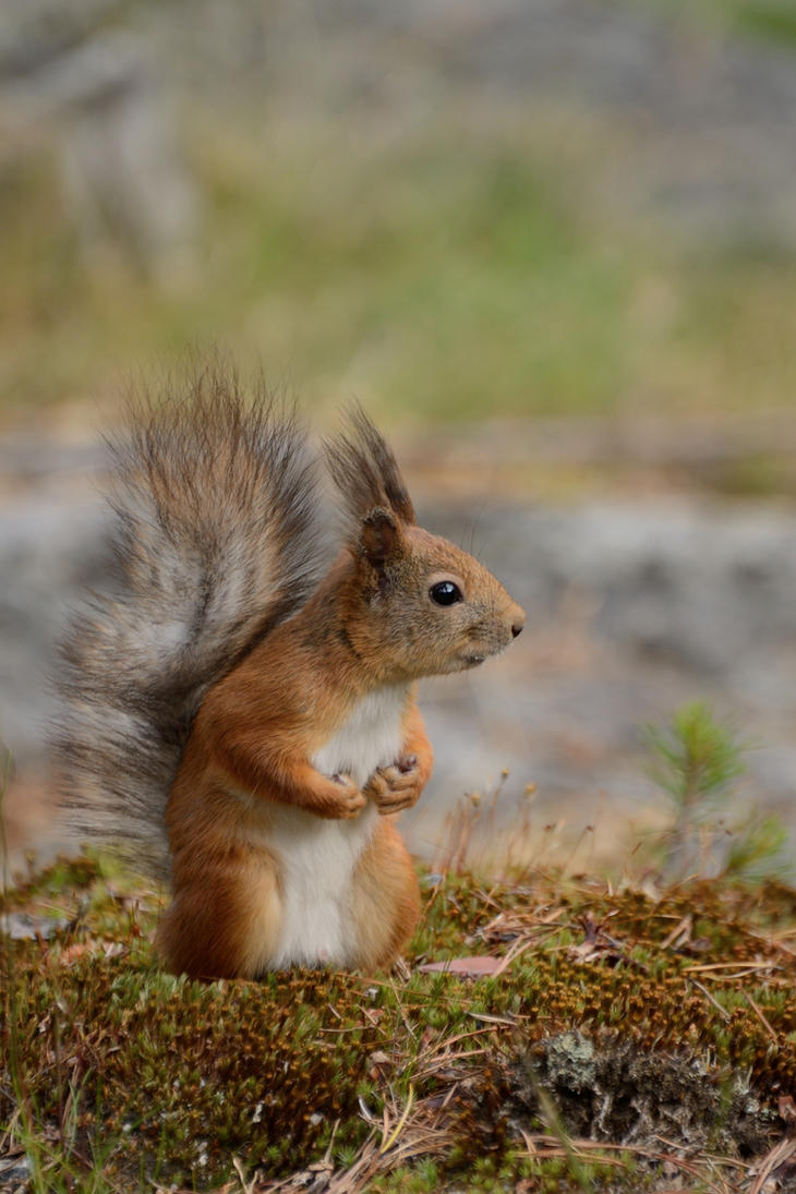 Eurasian red squirrel (Sciurus vulgaris) by Jalopeura90