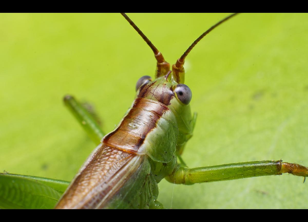 Cricket Closeup by WiDoWm4k3r