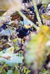 Wine 01 by N1cn4c