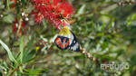 Butterfly On The Bottlebrush
