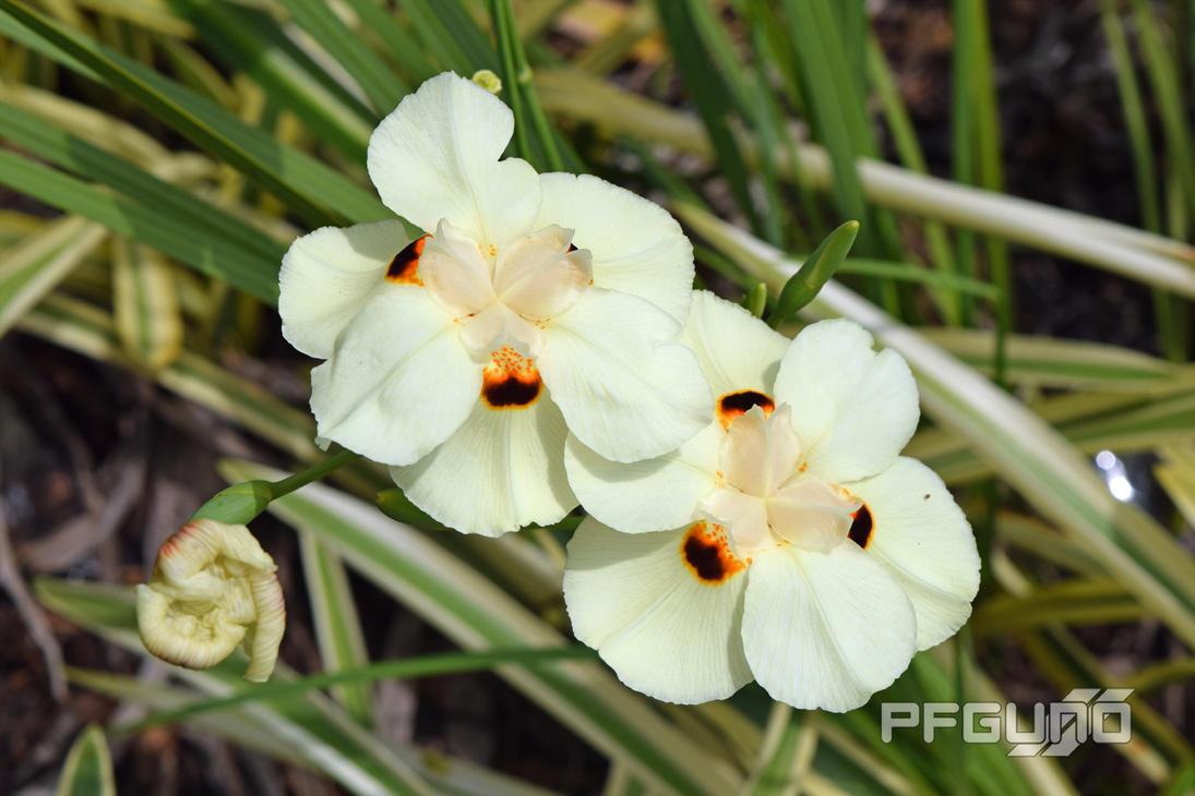 Two white wild iris flowers by pfgun0 on deviantart two white wild iris flowers by pfgun0 izmirmasajfo