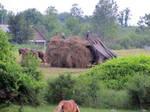 Amish Kids Haying