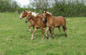 Amish Horses by Lectrichead
