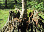 New tree grows from old stump