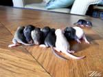 Little rats :3