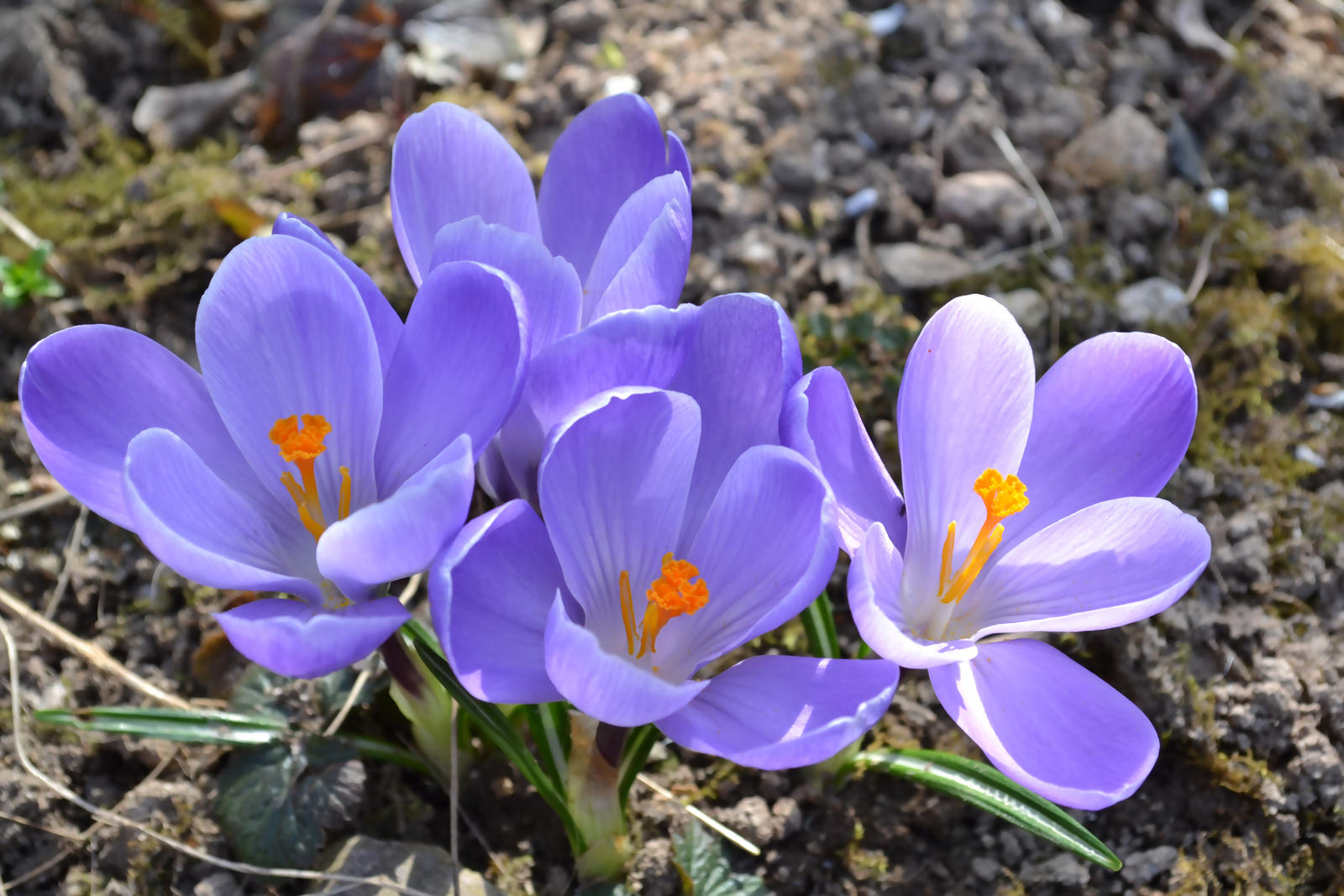 Stock crocus Laura Graph by Laura-Graph
