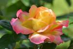 Stock Anita Creation rose_