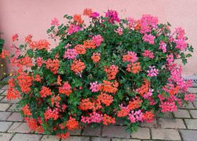Stock Anita Creations geraniums
