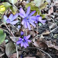 Hepatica transsylvanica by Abrimaal