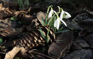 Galanthus nivalis by Abrimaal
