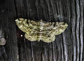 Mothylek by Abrimaal