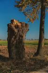 Salix immortalis by Abrimaal
