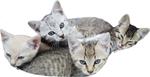Kittens 150px